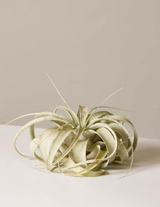 Xerographica Air Plant - Large