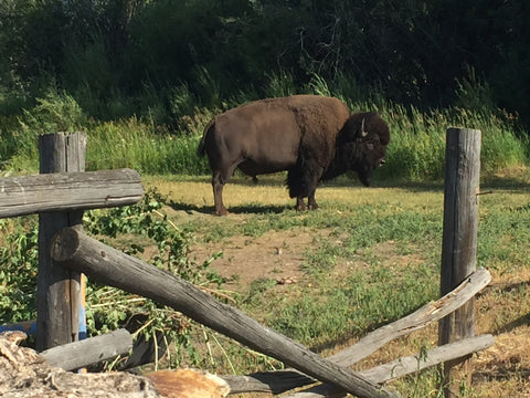 Theodore the Bison