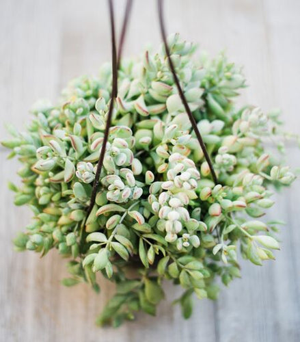 HB Cliff Cotyledon Pendens (6in Hanging Pot)