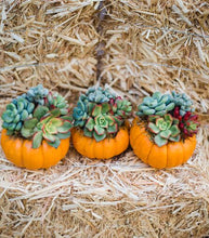 Trio of Mini Orange Succulent Pumpkins