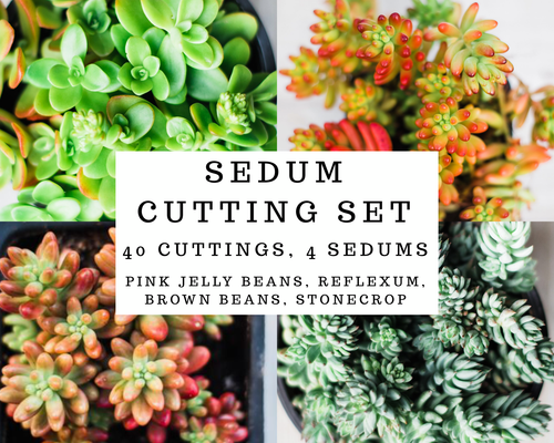 Sedum Cutting Set (40 Cuttings)