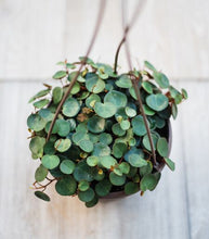 Hanging Peperomia Ruby Cascade