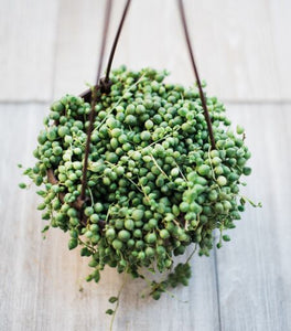 Senecio String of Pearls (6-inch Hanging Pot)