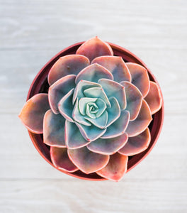 Echeveria Cassyz Winter