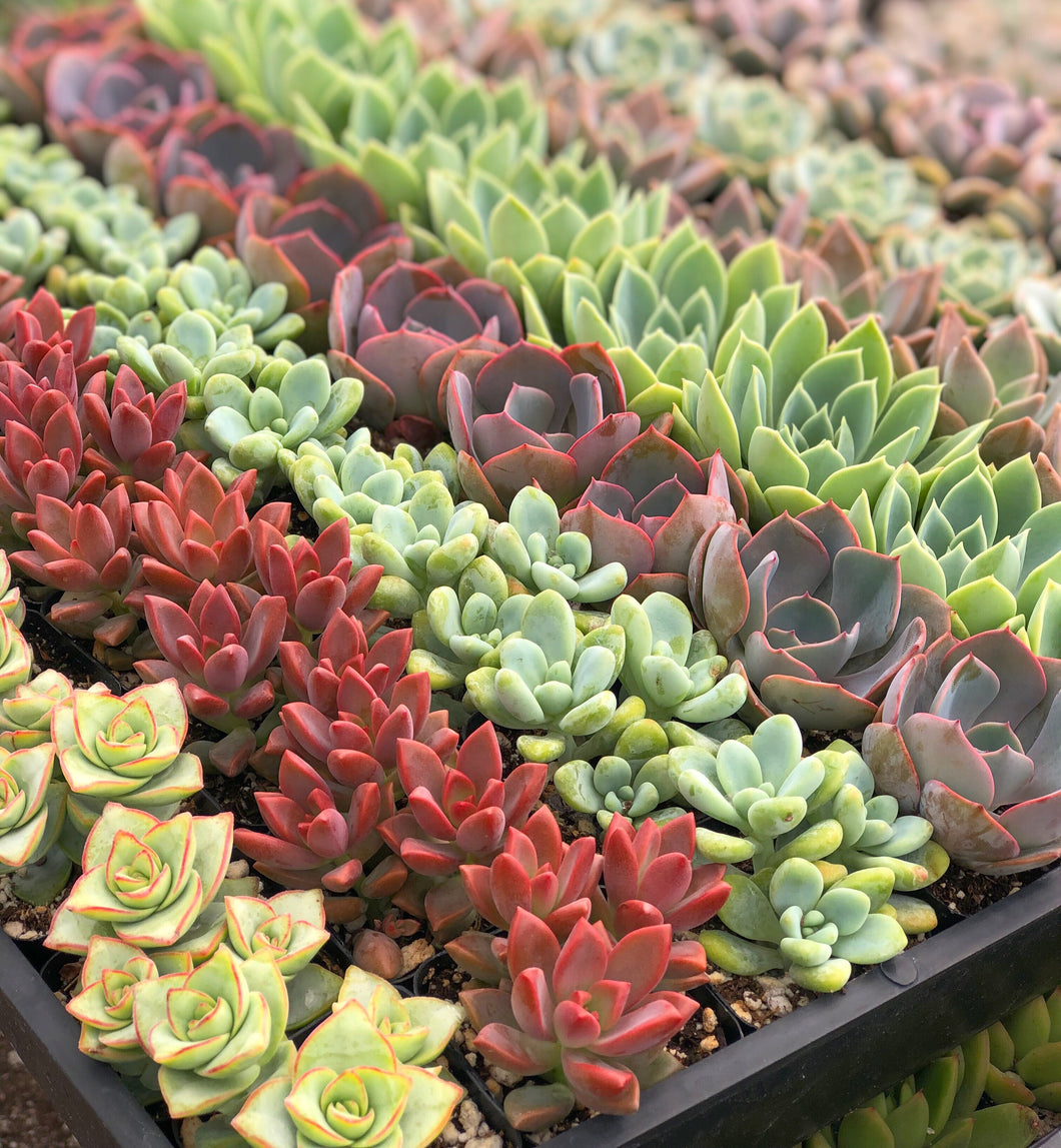 Mixed Succulent Flat: 64 (2in) Succulents