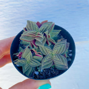 Crassula Picturata ( Tiger Jade )