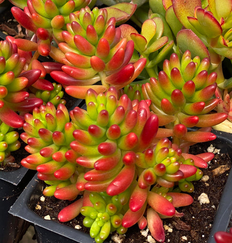 Sedum 'Pork and Beans' / 'Brown Beans' (4in Succulent)
