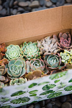 Succulent Gift Box (15 Mini Succulents)