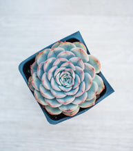 Echeveria Royalty Hercules