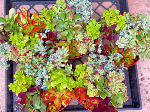 Colorful Succulent Pots (6in)