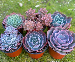 Valentine's Arranging Set (6 Succulents)