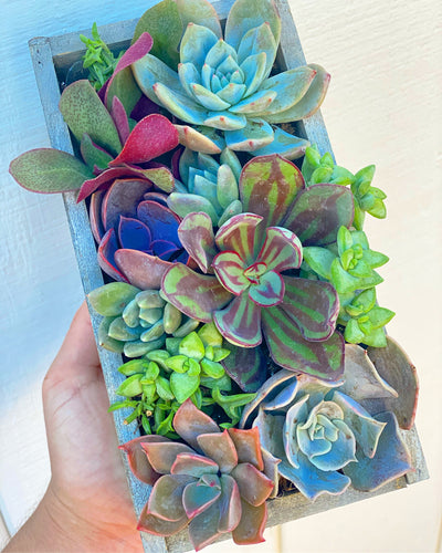 January Happy Mail Mini Set (9- 2in Succulents)