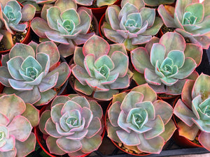 Echeveria Cassyz Winter (4in Succulent)