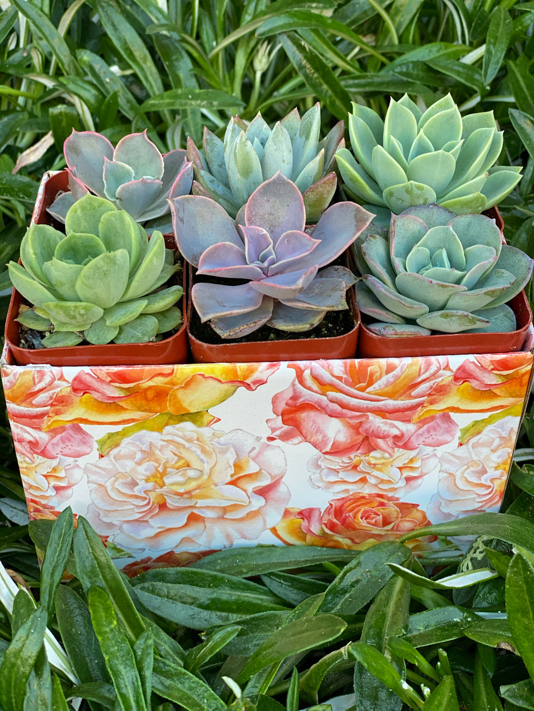 Small Succulent Gift Box