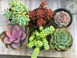 Sunday Sale Set 6 (4in Succulents)