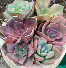 Pretty in Pink Set (2in Succulents)
