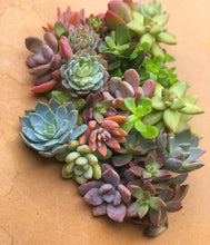 25 Mixed Succulent Cuttings