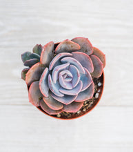 Echeveria Dusty Rose