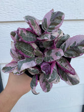 Pink Snow White Waffle Plant