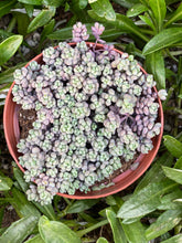 Sedum Dasyphyllum 'Minor'