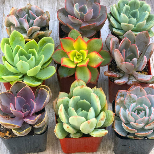 Mini Succulents (2in pots)
