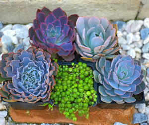 Arranging Set of 5 Succulents
