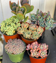 Birthday Succulent Set (6 Succulents)