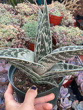 'Partridge Breast' Variegated Aloe