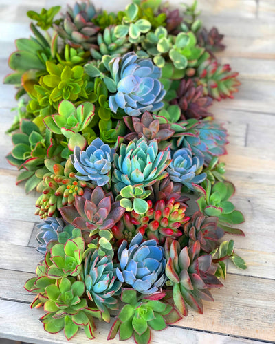50 Mixed Succulent Cuttings