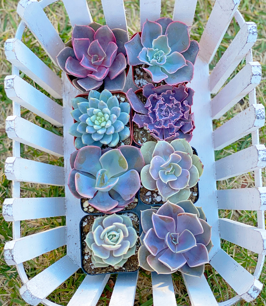 Pretty in Pink Set (8 Succulents)