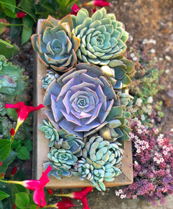 6in Pastel Set Sale! (4-6in Succulents)
