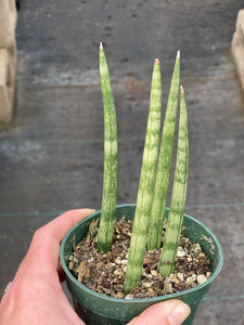 Sansevieria Cylindrical ( Dragon Fingers )