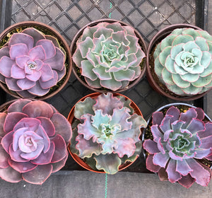 Spring 6in Succulent Set