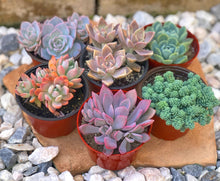 Balimoon 'Pup' Set (6- 4in Succulents)