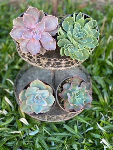 Happy Mail Spring Set (4 Succulents)