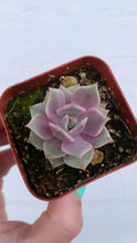 Echeveria Lola Purple Hybrid