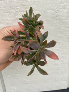 Med. Crested Graptoveria Fred Ives #5