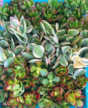 Crassula Cutting Set (45 cuttings!)
