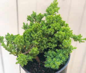 Bonsai: Juniperus Procumbens 'Nana'