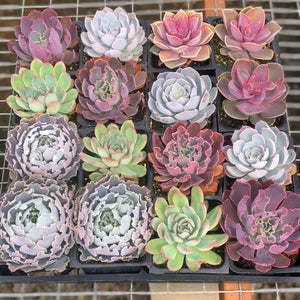 Mixed Spring Succulent Set (4in)