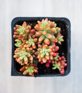 Sedum Pink Jelly Beans (15 cuttings)