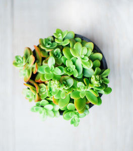 Sedum Stonecrop Confussum (15 Cuttings)