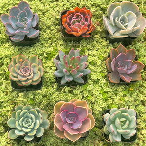Spring Succulent Mini's Set