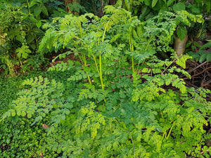 Why You Need a Moringa Oleifera In Your Garden