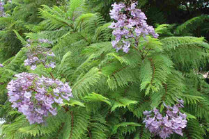 Everything You Need to Know About Planting and Looking After Your Jacaranda Tree