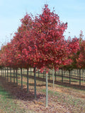 Acer Rubrum 'Fairview Flame""