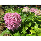 Hydrangea plants - House of Beautiful Gardens