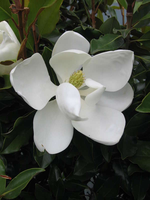 Southern Magnolia House Of Beautiful Gardens