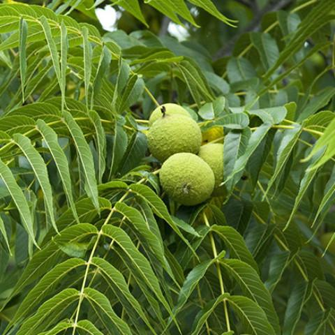 Juglans Nigra Tree (Black Walnut) - House of Beautiful Gardens