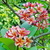 Frangipani Trees - House of Beautiful Gardens
